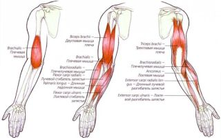 Строение мышц на руках