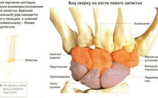 Строение и функции лучезапястного сустава