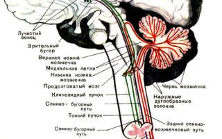 Проводящие пути спинного и головного мозга