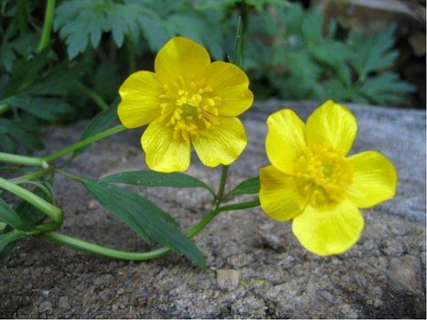 желтые цветочки лютика
