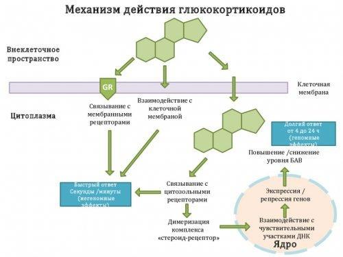 механизм работы Глюкокортикостероидов