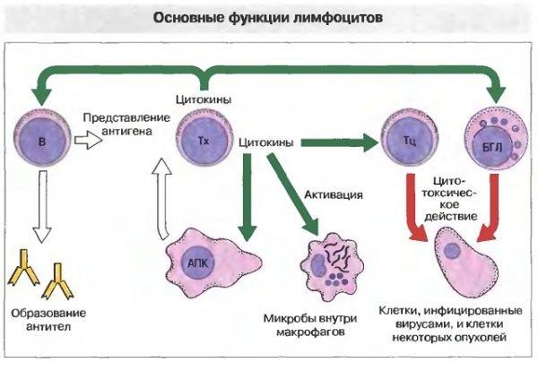Лимфоциты принцип работы