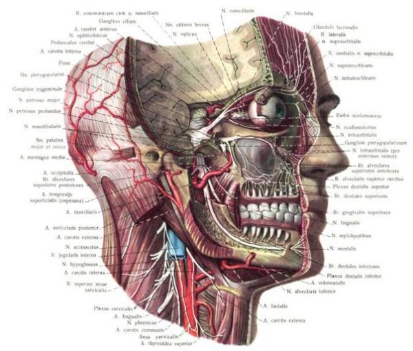 голова в разрезе схематично