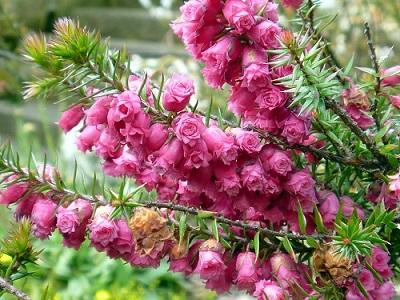 цветы Вереска