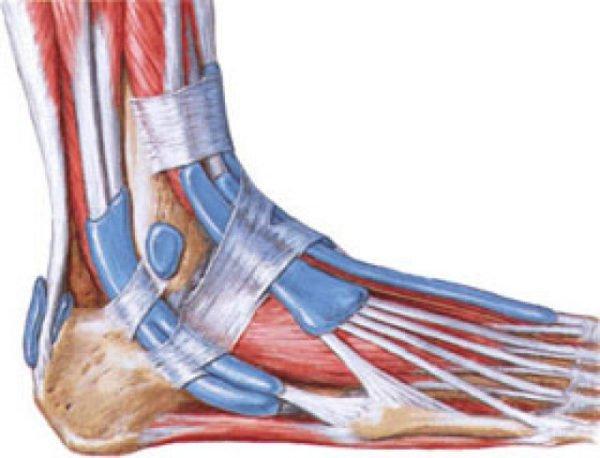 строение связок ноги