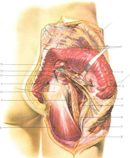 Нижне-ягодичный нерв