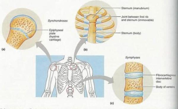 Мази для восстановления хрящевой ткани в позвоночнике