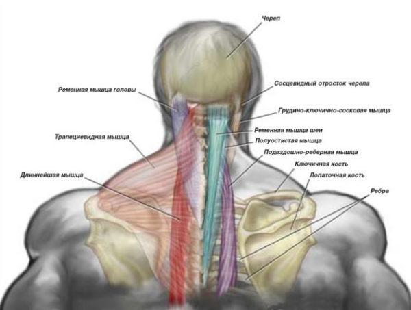 Мышцы шеи: строение, причины возникновения боли и лечение