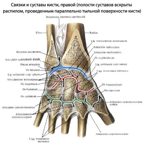Поражаются такие участки как межфаланговые суставы кистей и пястно-фаланговые суставы малоподвижность плечевого сустава