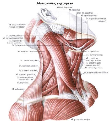 Растяжение Мышц Шеи: Симптомы, Лечение И Что Делать