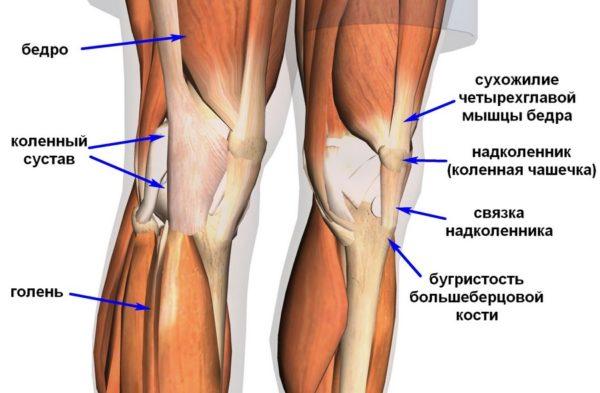 Элементы коленного сустава