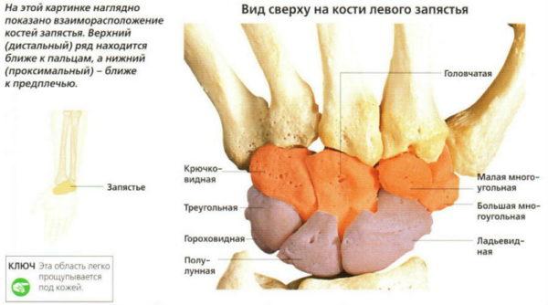 Строение лучезапястного сустава человека анатомия