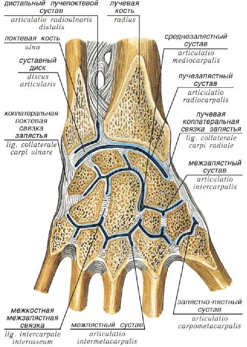 Лучезапястный сустав - это... Что такое Лучезапястный сустав?