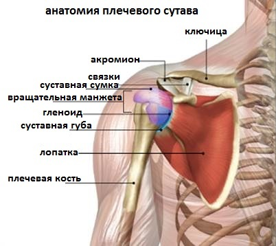 Анатомия лопаточный сустав упражнения для лечения суставов
