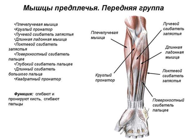 Анатомия костей предплечья строение какие виды плечевых костей относятся