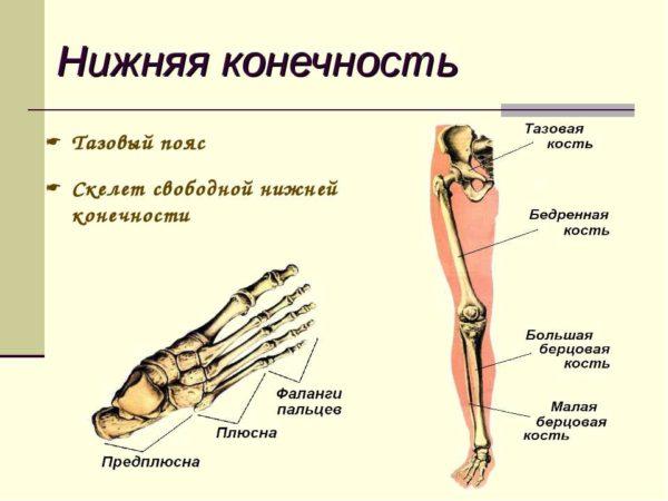 Суставы верхних и нижних конечностей таблица анатомия